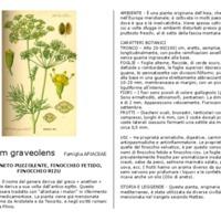 Anethum_graveolens.pdf